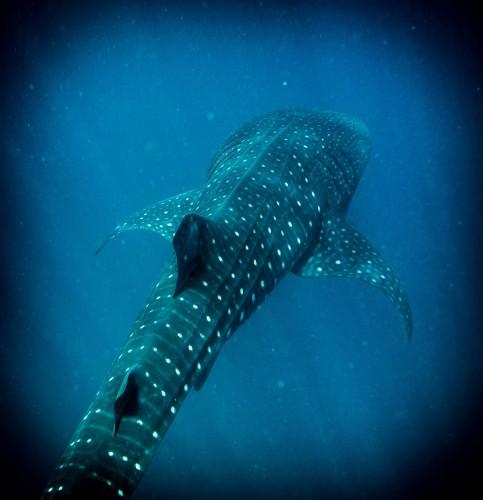 40' Whale Shark